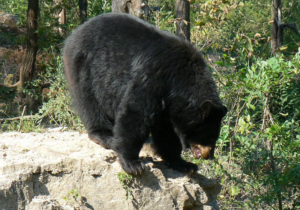 Un hunter shoots a bear (ou pas)