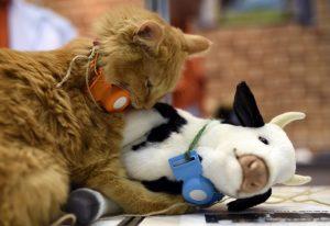 Après les chiens de bergers, les chats de vachers